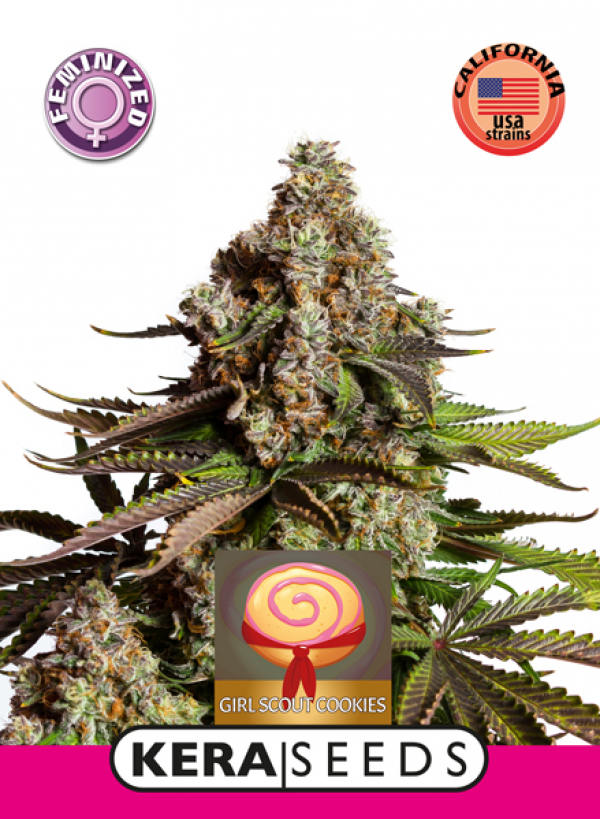 Girl Scout Cookies Feminised Cannabis Seeds | Kera Seeds