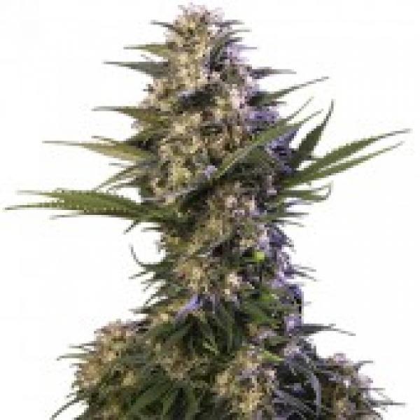 Kraken Feminised Cannabis Seeds | Buddha Seeds