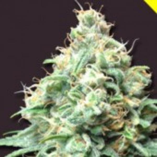 Kush Bomb Feminised Cannabis Seeds | Bomb Seeds