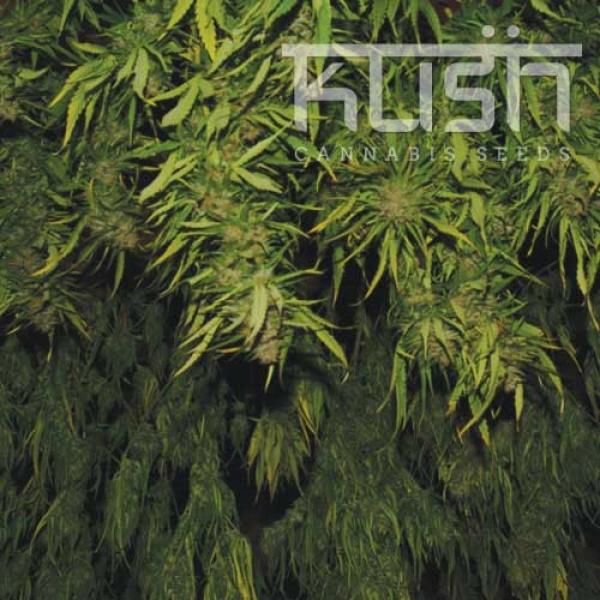 Afghani Kush Regular Cannabis Seeds   Kush Seeds