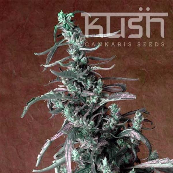 Haze Kush Regular Cannabis Seeds | Kush Seeds