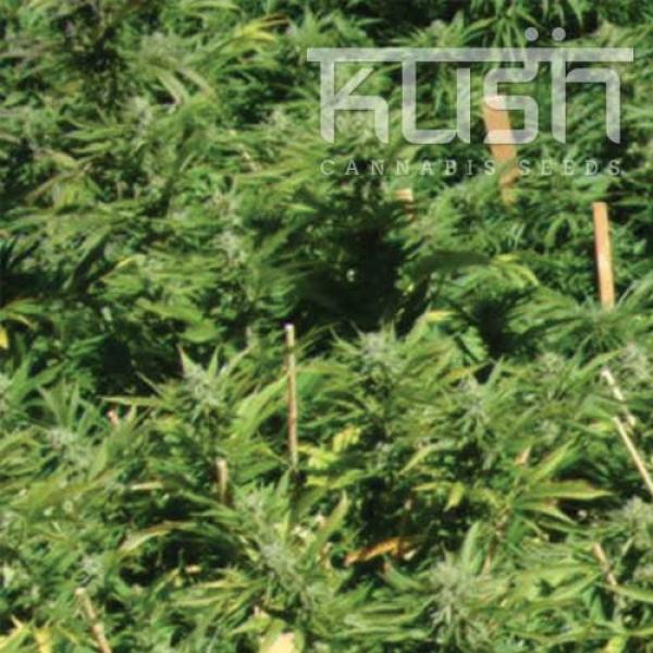 Lemon Kush Feminised Cannabis Seeds | Kush Seeds