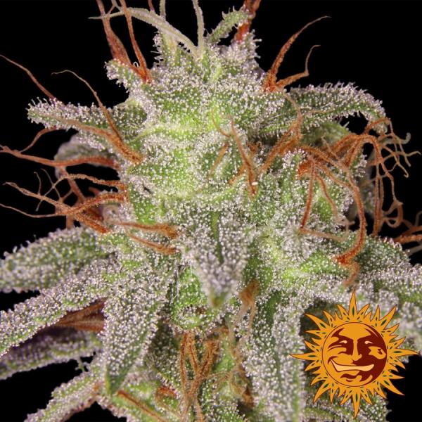 Amnesia Lemon Feminised Cannabis Seeds   Barney's Farm