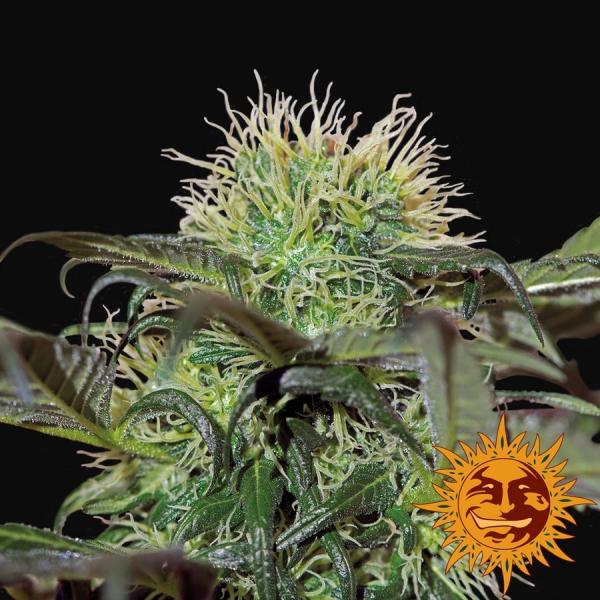 Bad Azz Kush Feminised Cannabis Seeds | Barney's Farm