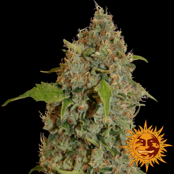 Chronic Thunder Feminised Cannabis Seeds | Barney's Farm
