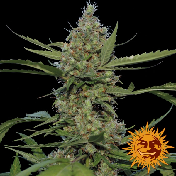 Laughing Buddha Feminised Cannabis Seeds | Barney's Farm