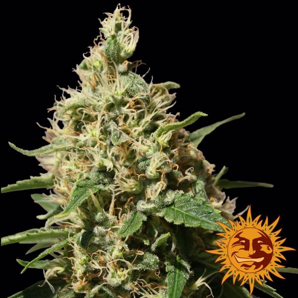 Peppermint Kush Feminised Cannabis Seeds | Barney's Farm