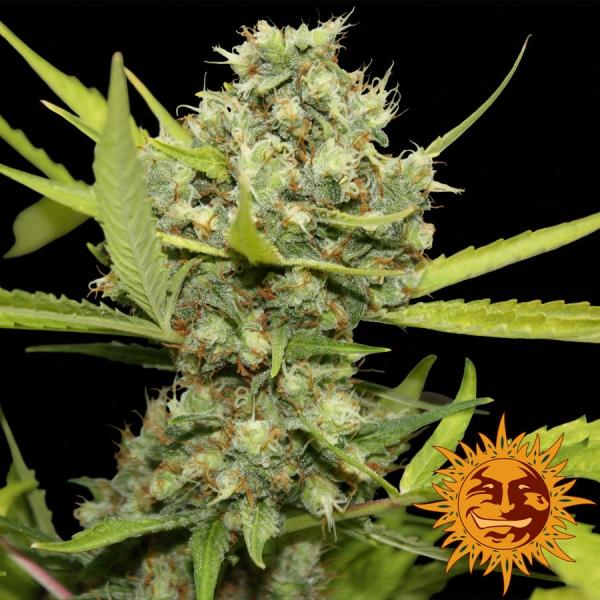 Pineapple Chunk Feminised Cannabis Seeds   Barney's Farm