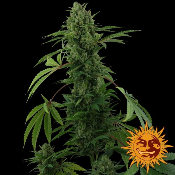 Pineapple Express Auto Feminised Cannabis Seeds | Barney's Farm