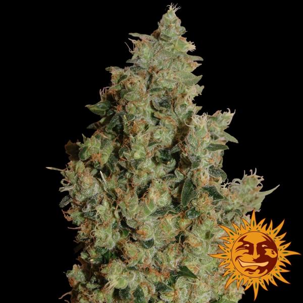 Tangerine Dream Feminised Cannabis Seeds   Barney's Farm