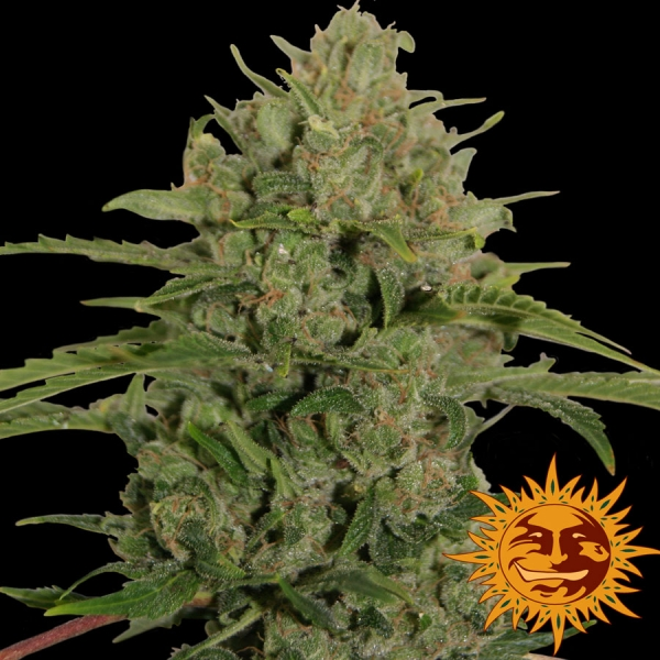 Triple Cheese Feminised Cannabis Seeds | Barney's Farm