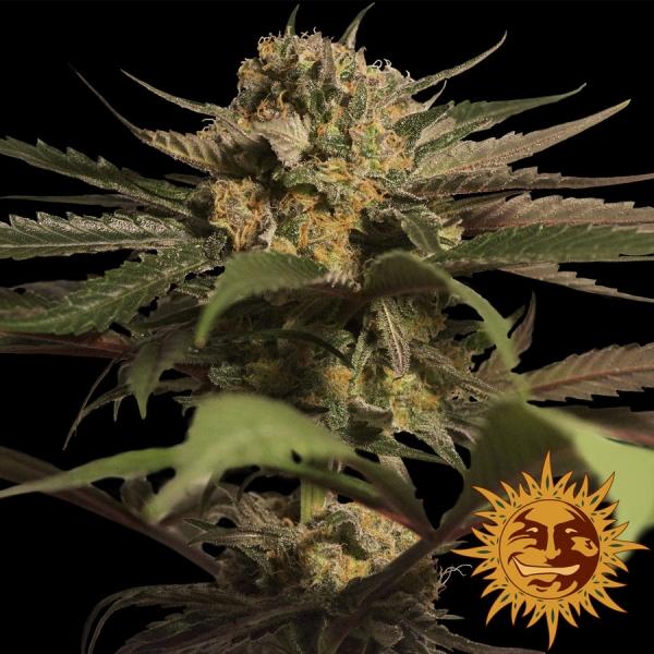 Violator Kush Feminised Cannabis Seeds   Barney's Farm