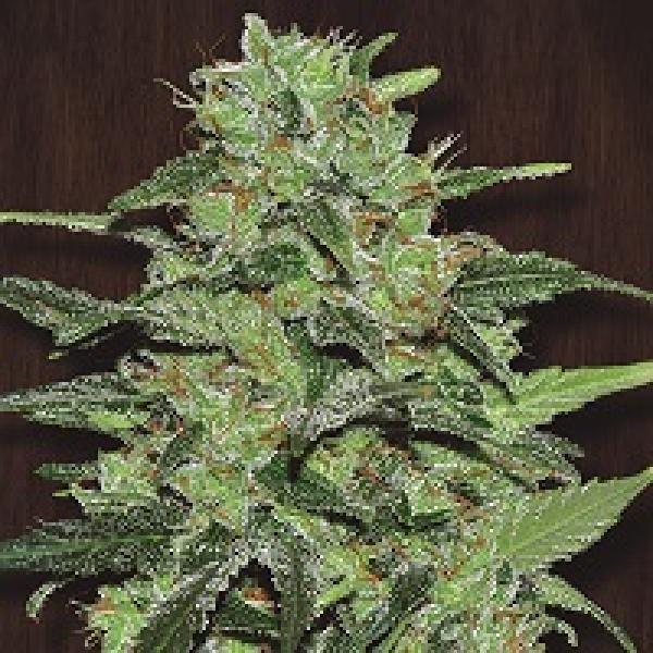 Malawi Feminised Cannabis Seeds | Ace Seeds