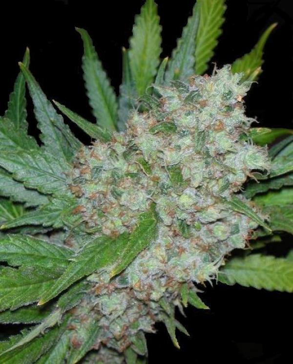 Mama Mia Feminised Cannabis Seeds   Seedsman