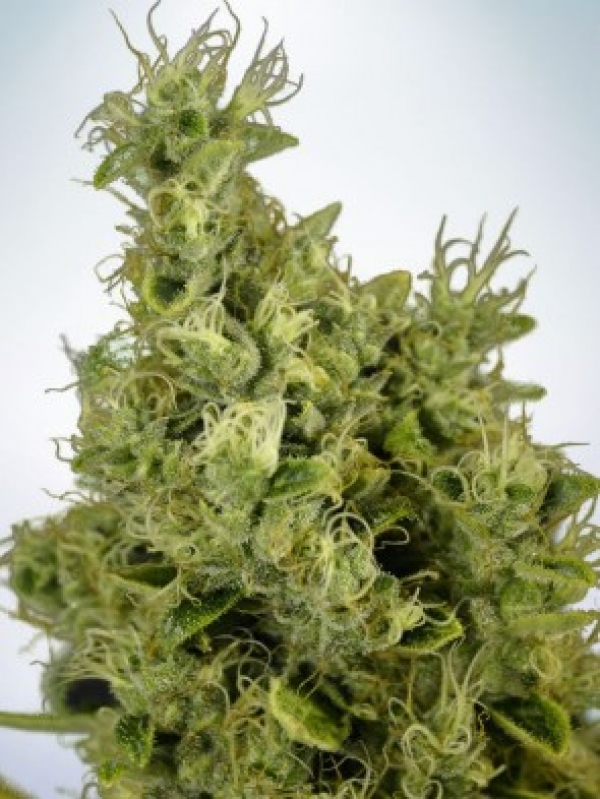 Mandarin Haze Feminised Cannabis Seeds | Ministry of Cannabis