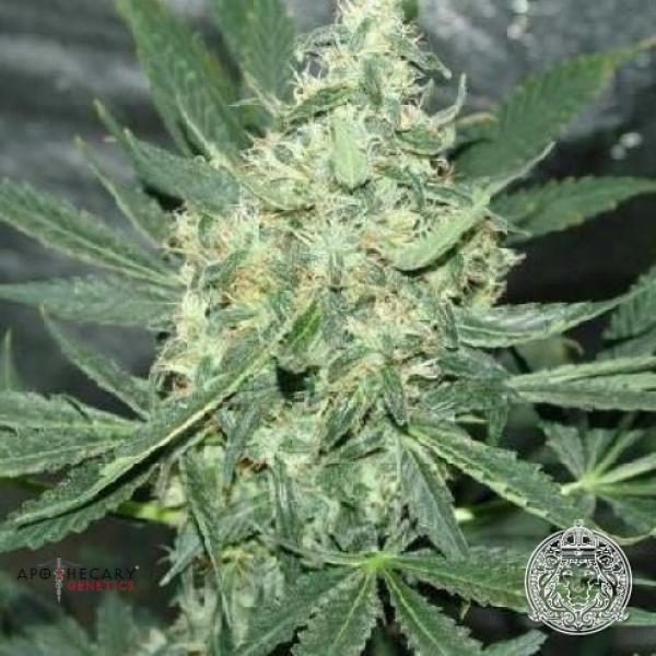 Maui OG Regular Cannabis Seeds   Apothecary Genetics Seeds