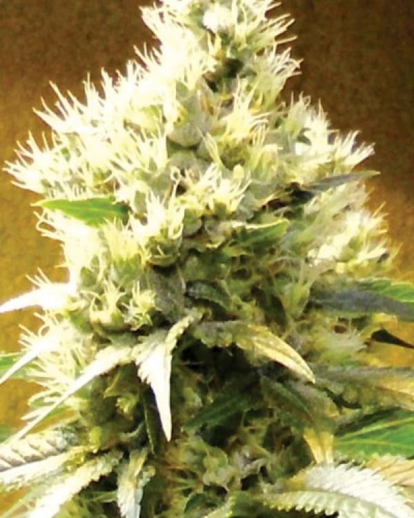 Afghani Regular Cannabis Seeds