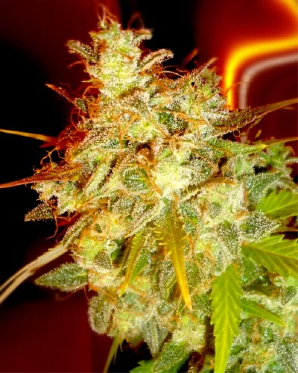 Mazari Grape Feminised Cannabis Seeds