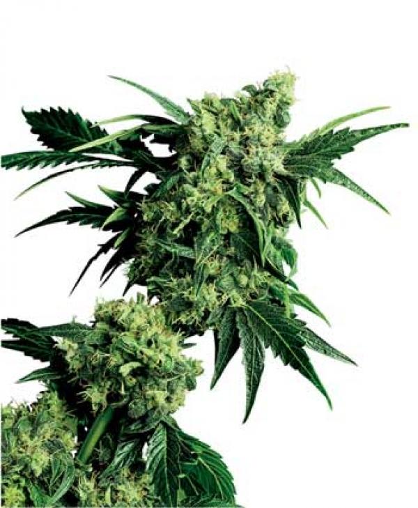 Mr Nice G13 x Hash Plant Regular Cannabis Seeds | Sensi Seeds