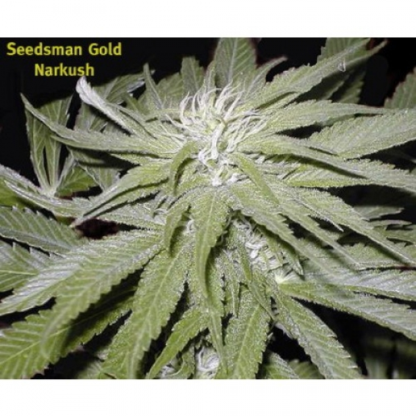 Narkush Regular Cannabis Seeds | Seedsman