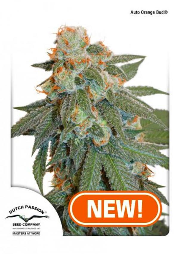 Auto Orange Bud Feminised Cannabis Seeds | Dutch Passion