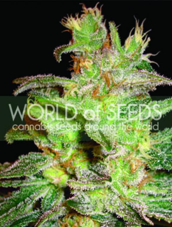 Northern Lights x Big Bud Feminised Cannabis Seeds   World of Seeds