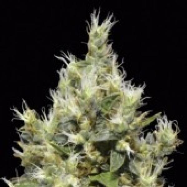 Northern Feminised Cannabis Seeds | CBD Seeds Classic Line