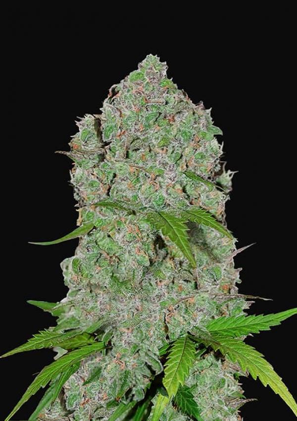 Orange Sherbet Feminised Cannabis Seeds | Fast Buds