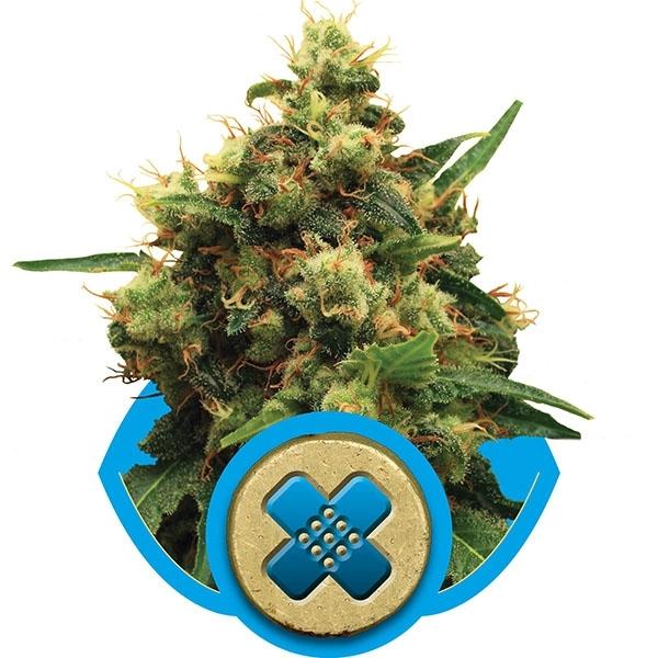 Painkiller XL Feminised Cannabis Seeds   Royal Queen Seeds