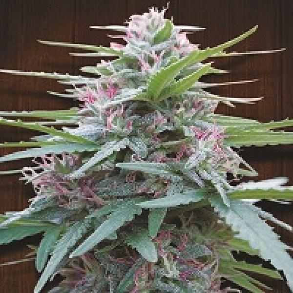 Panama Regular Cannabis Seeds | Ace Seeds