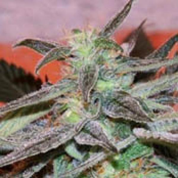 Panama DC Regular Cannabis Seeds