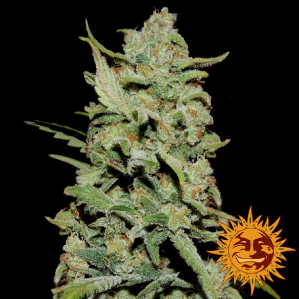 Peyote Critical Feminised Cannabis Seeds | Barney's Farm