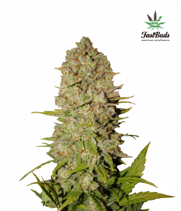 Pineapple Express Auto Feminised Cannabis Seeds | Fast Buds