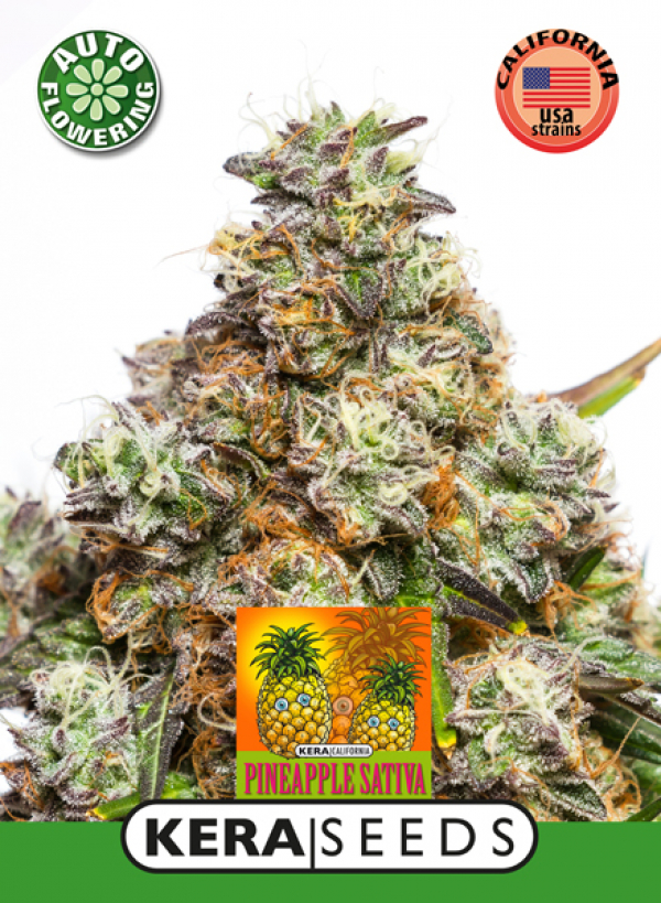 Pineapple Sativa Auto Feminised Cannabis Seeds | Kera Seeds