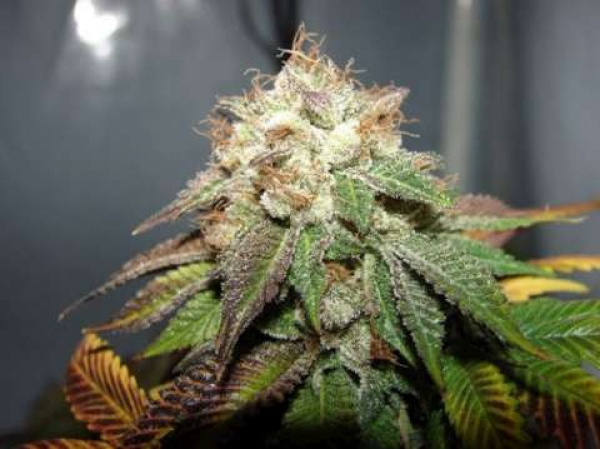 Pre98 Bubba BX2 Feminised Seeds   Cali Connection