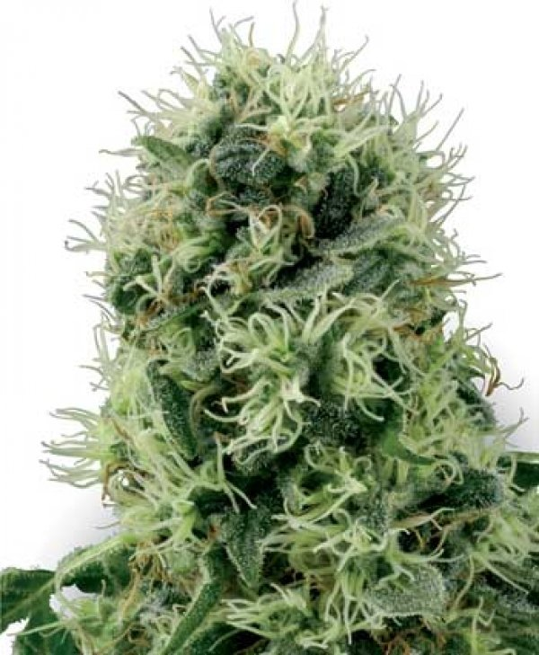 Pure Power Plant Feminised Cannabis Seeds | White Label ...