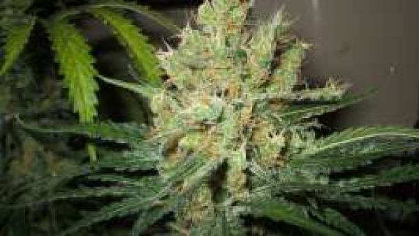 Pure Power Plant (PPP) Feminised Cannabis Seeds | Nirvana