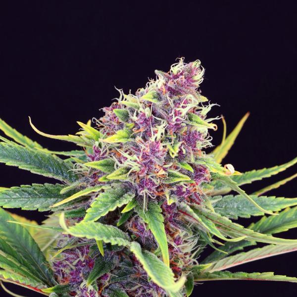 Purple Kush Feminised Cannabis Seeds   Kannabia