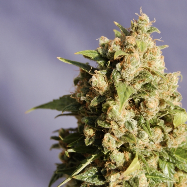 Kiss (Formerly Queso) Feminised Cannabis Seeds