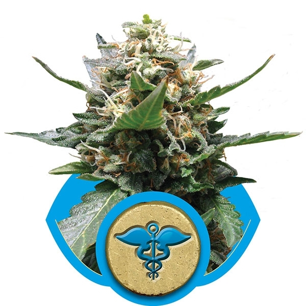 Royal Medic Feminised Cannabis Seeds | Royal Queen Seeds
