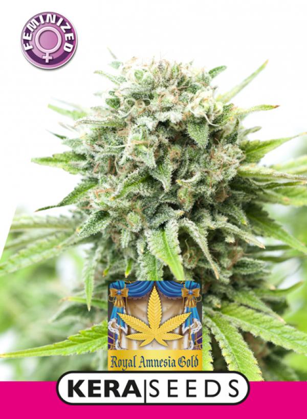 Royal Amnesia Gold Feminised Cannabis Seeds | Kera Seeds