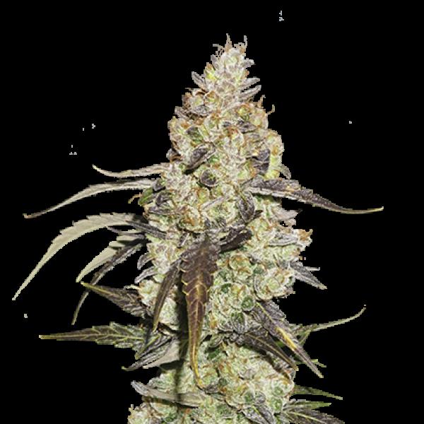 Runtz Feminised Cannabis Seeds | Seed Stockers
