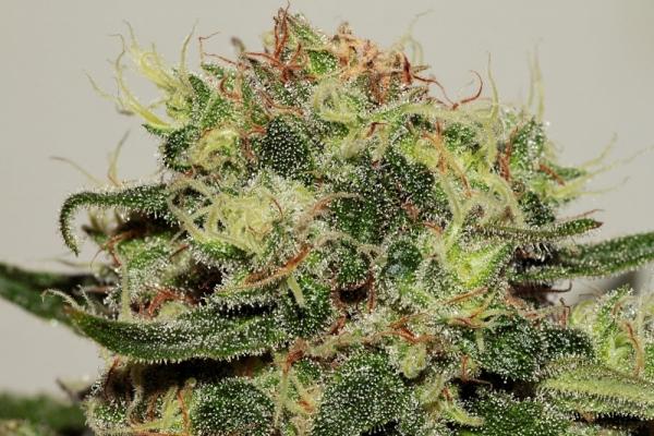 CBD Critical Mass Feminised Cannabis Seeds | Seedsman