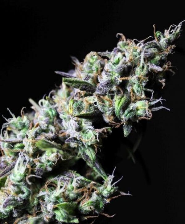 Icer Feminised Cannabis Seeds   R-Kiem Seeds