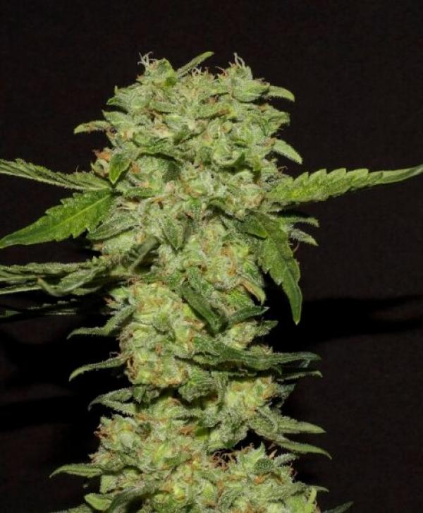 Portela Feminised Cannabis Seeds   R-Kiem Seeds