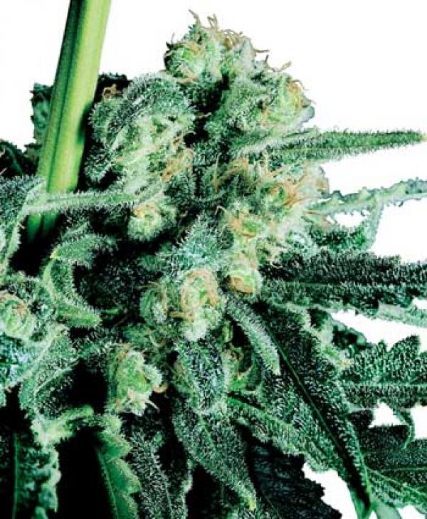 Sensi Skunk Regular Cannabis Seeds   Sensi Seeds