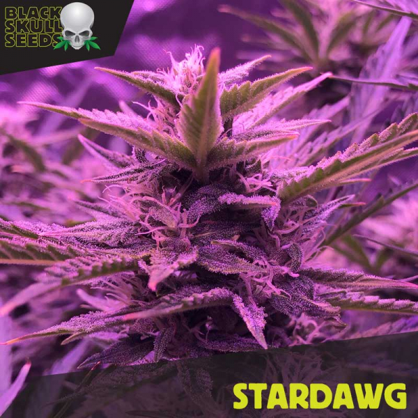 Stardawg Feminized Cannabis Seeds | Black Skull Seeds