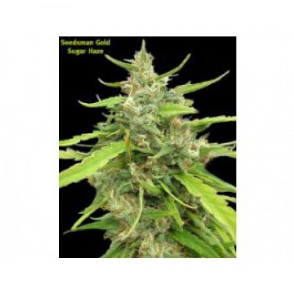 Sugar Haze Regular Cannabis Seeds | Seedsman