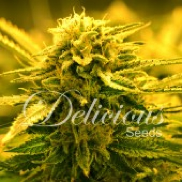 Sugar Black Rose Auto Feminised Cannabis Seeds | Delicious Seeds