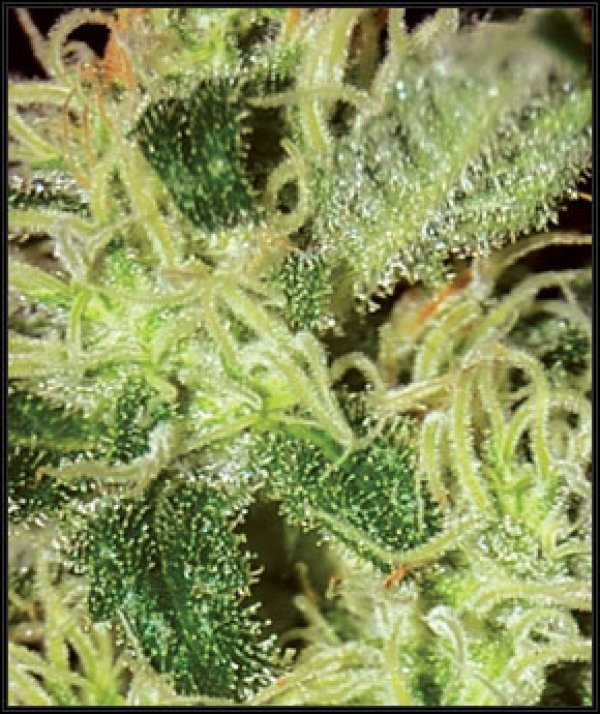 Super Critical Feminised Cannabis Seeds | Green House Seeds